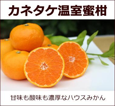 カネタケさんが丹精込めて栽培。酸味も甘みも濃厚なハウスみかんです。【カネタケ温室温州蜜柑】