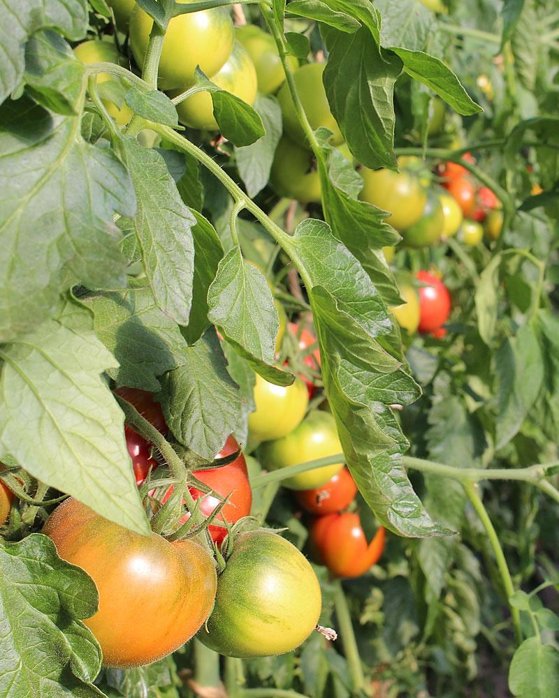 収穫前のカラフルトマト