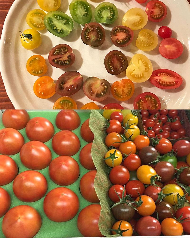 色とりどりのカラフルトマト