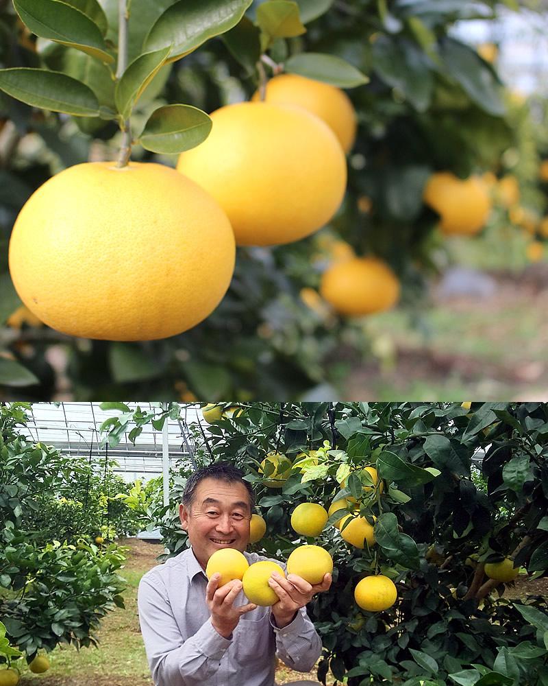 グレープフルーツと園主