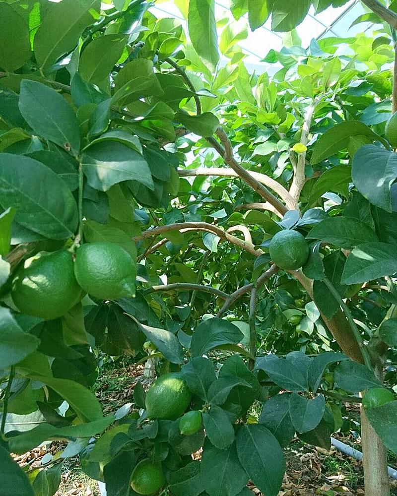 実ったグリーンレモン