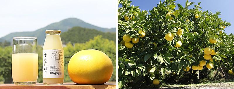 春採れ文旦(ぶんたん、ブンタン)の果汁100%ジュース