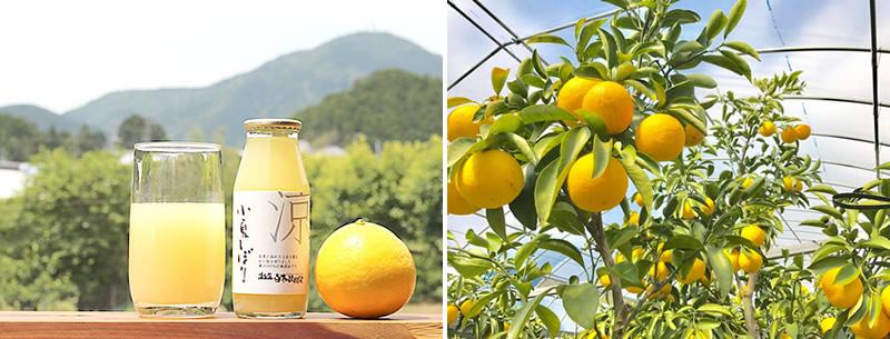 初夏採れの土佐小夏(こなつ)果汁100%ジュース