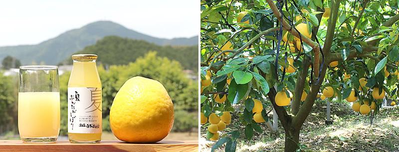 夏ぶんたん(河内晩柑、宇和ゴールド)の果汁100%ジュース