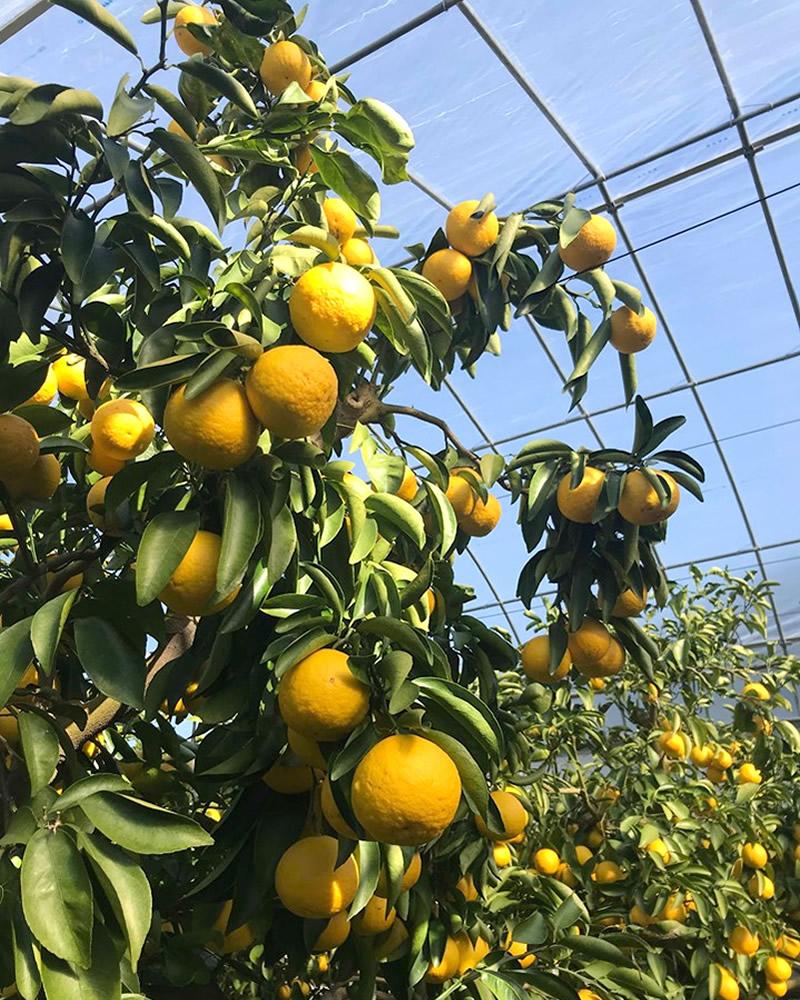 高知の柑橘類小夏の木