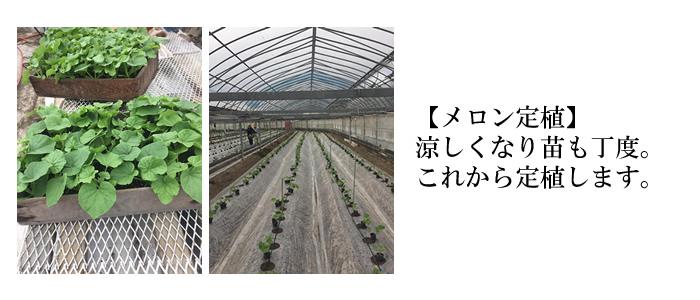 メロン定植