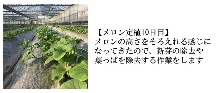メロン定植10日目