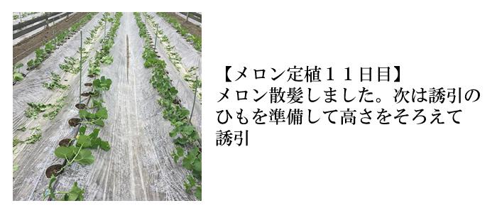 メロン定植11日目
