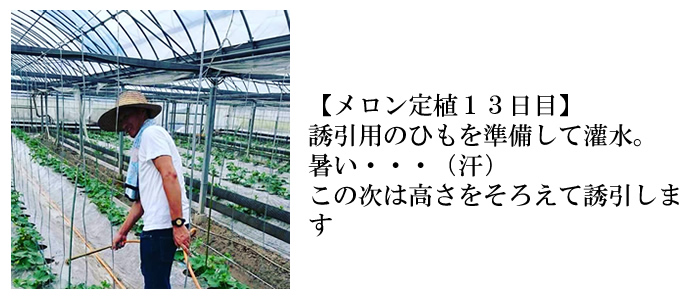 メロン定植13日目