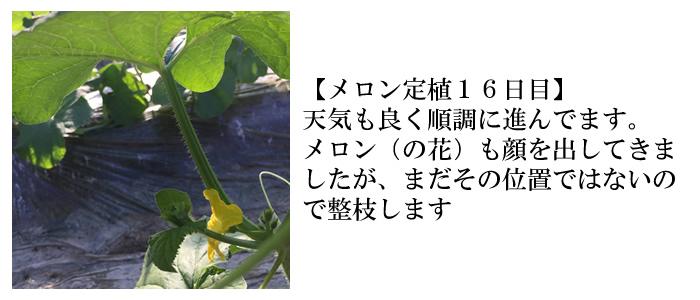 メロン定植16日目