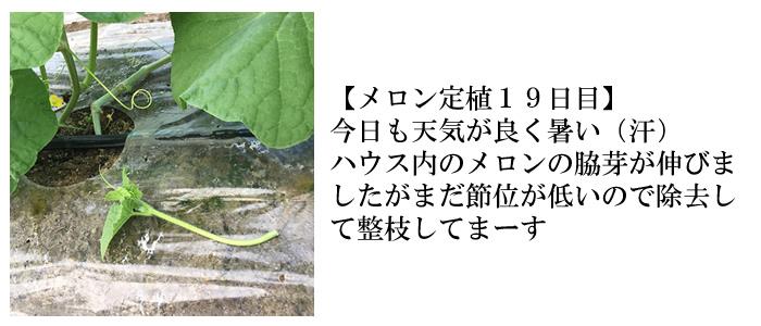 メロン定植19日目