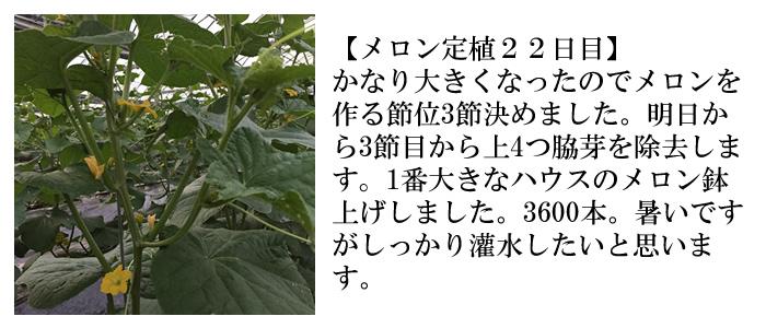メロン定植22日目