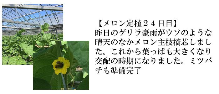 メロン定植24日目