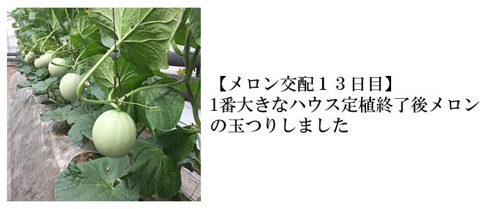 メロン交配13日目