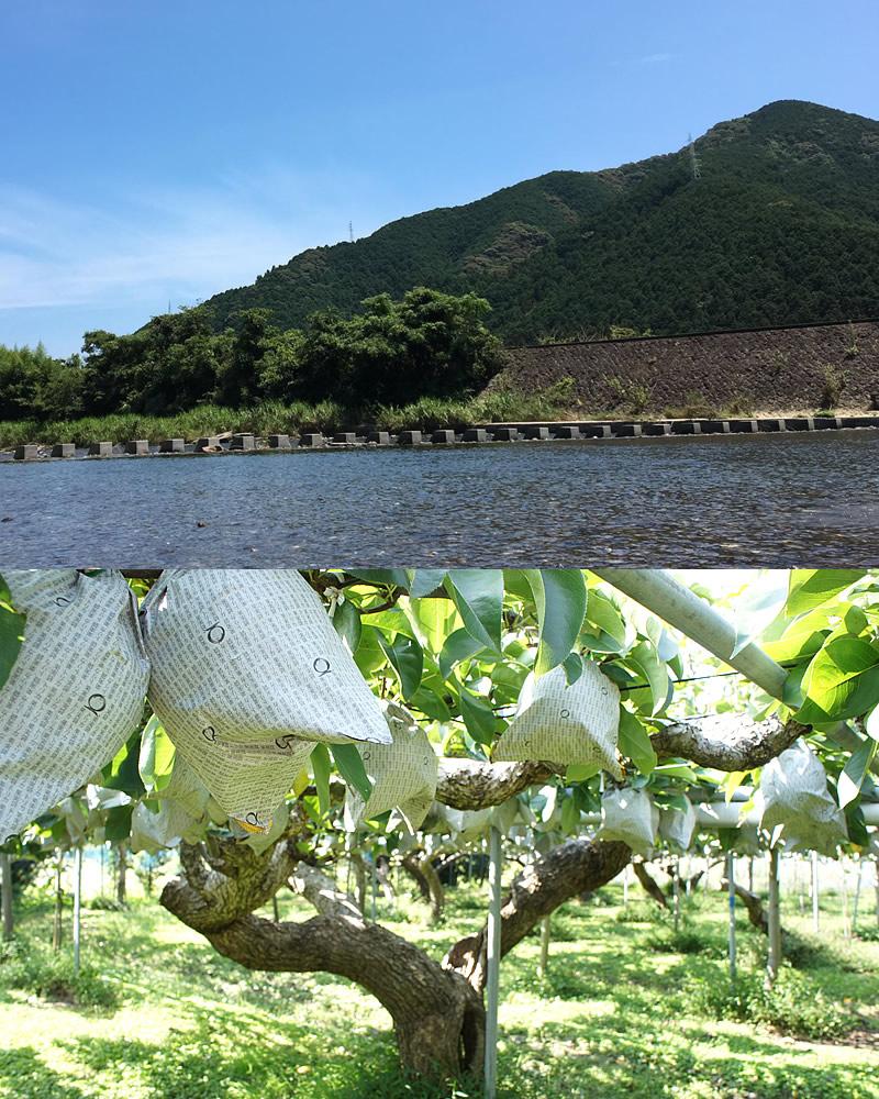 仁淀川と幸水梨の木
