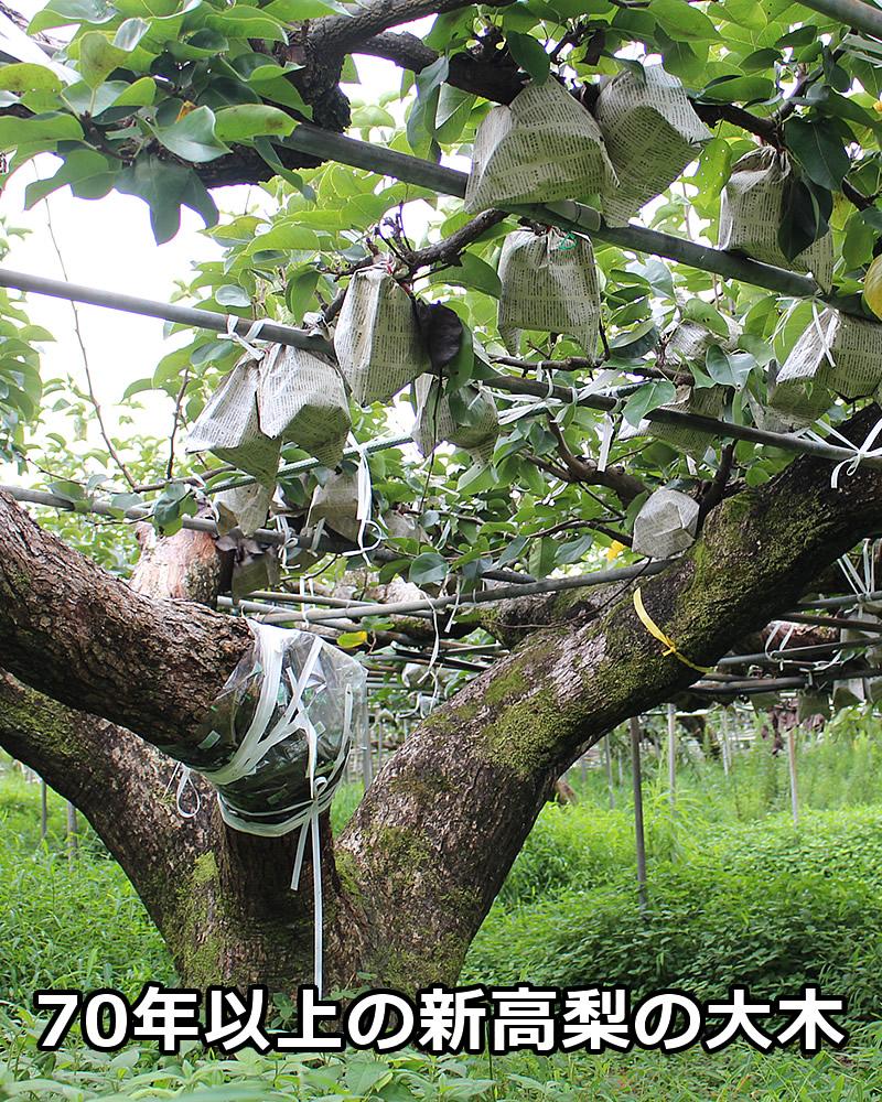 果樹園の新高梨