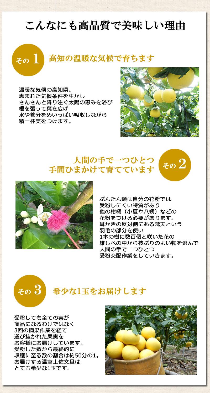 温暖な気候の高知県。恵まれた気候条件を生かし、さんさんと降り注ぐ太陽の恵みを浴び、根を張って葉を広げ水や養分をめいいっぱい吸収しながら精一杯実をつけます。ぶんたん類は自分の花粉では受粉しにくい特質があり、他の柑橘(小夏や八朔)などの花粉をつける必要があります。耳かきの反対側にある梵天という羽毛の部分を使い、1本の樹に数百個と咲いた花の雄しべの中から枝ぶりのよい物を選んで人間の手で一つひとつ受粉交配作業をしていきます。受粉しても全ての実が商品になるわけではなく、3回の摘果作業を経て選び抜かれた果実をお客様にお届けしています。受粉した数から最終的に収穫に至る数の割合は約50分の1。お届けする温室土佐文旦はとても希少な1玉です。