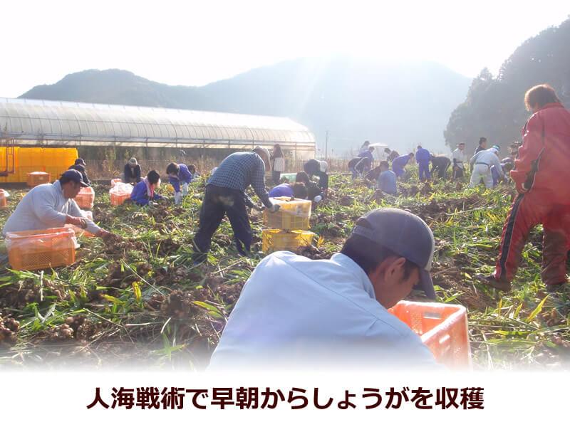白木果樹園の生姜畑の収穫風景