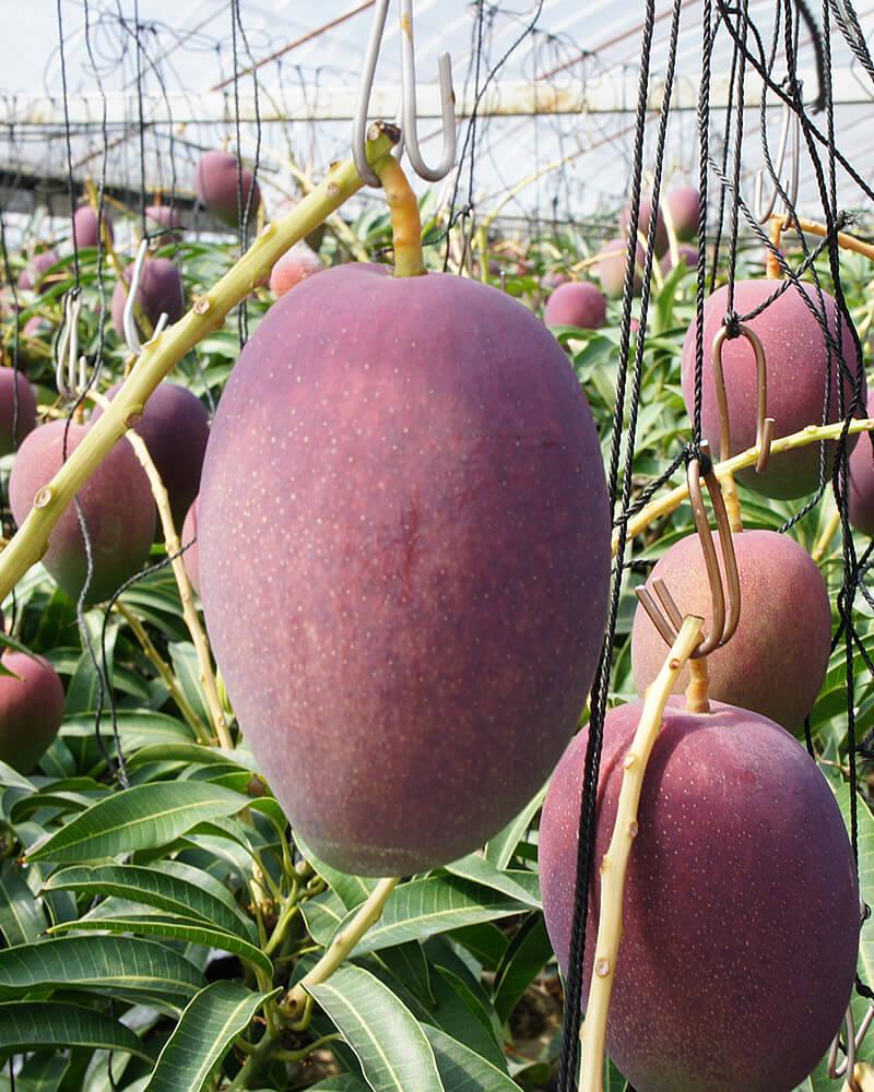 土佐マンゴー園のマンゴー